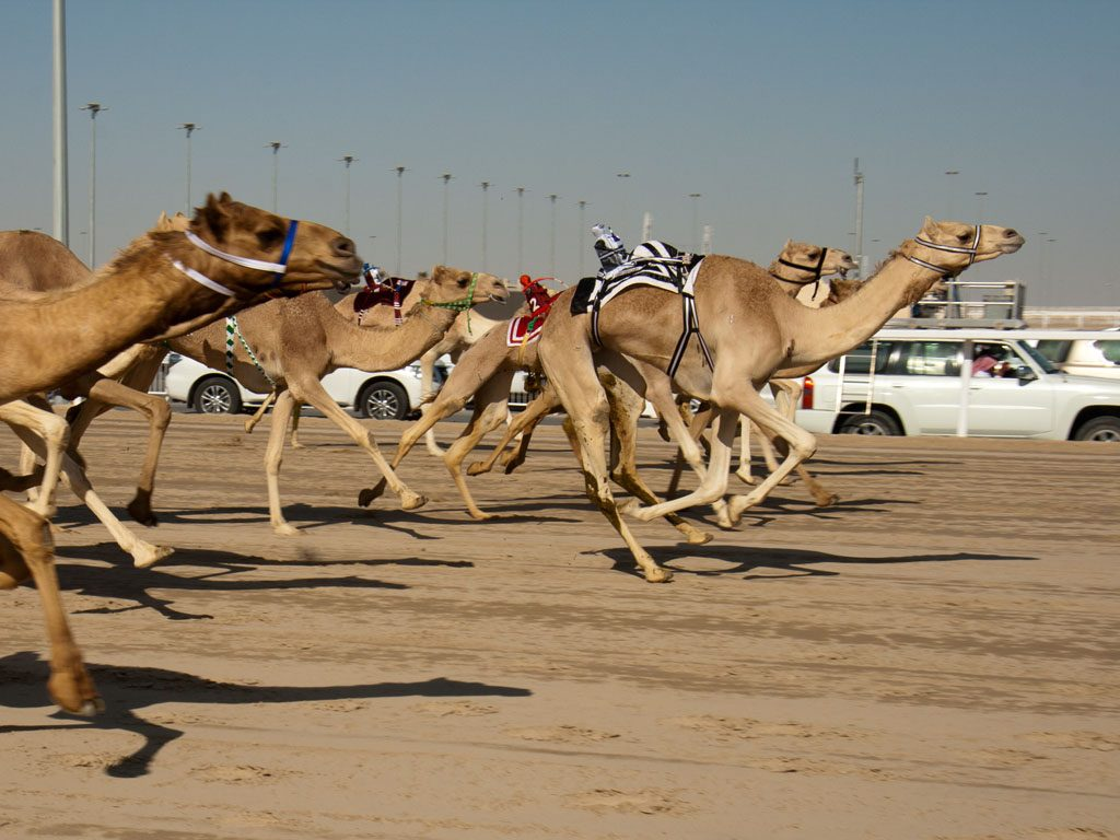 Watch a camel race in Qatar