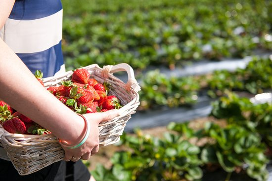 strawberry picking in Beerenberg things to do