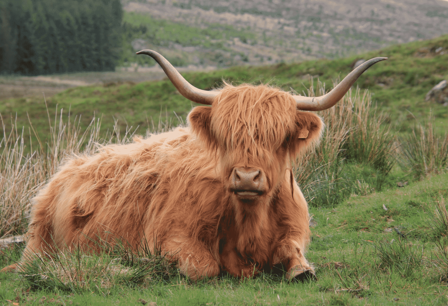 beautiful Yak