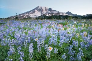 Massive Wildflower Bloom Mount Rainier National Park