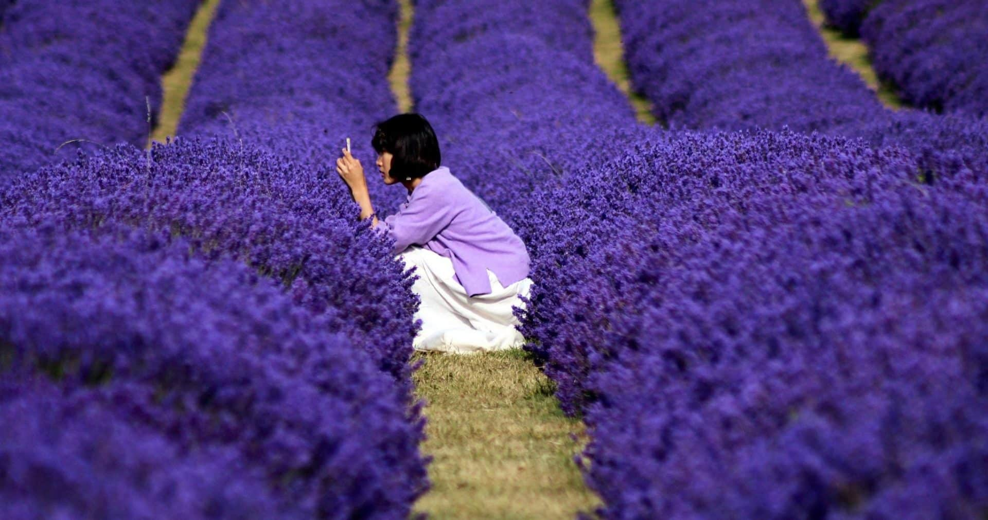 The Scenic Lavender Field