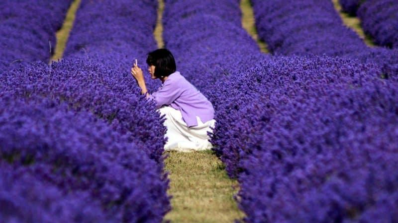 The Scenic Lavender Field