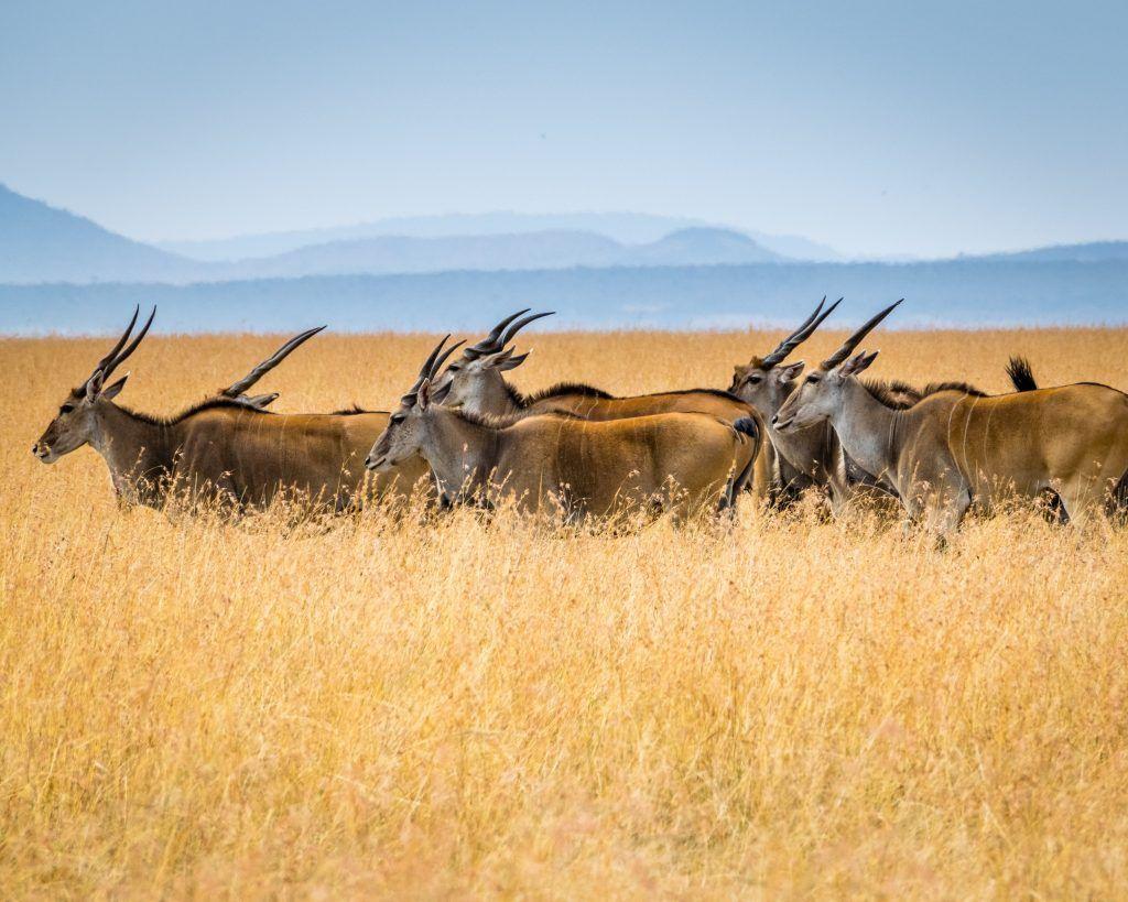lion king safaris