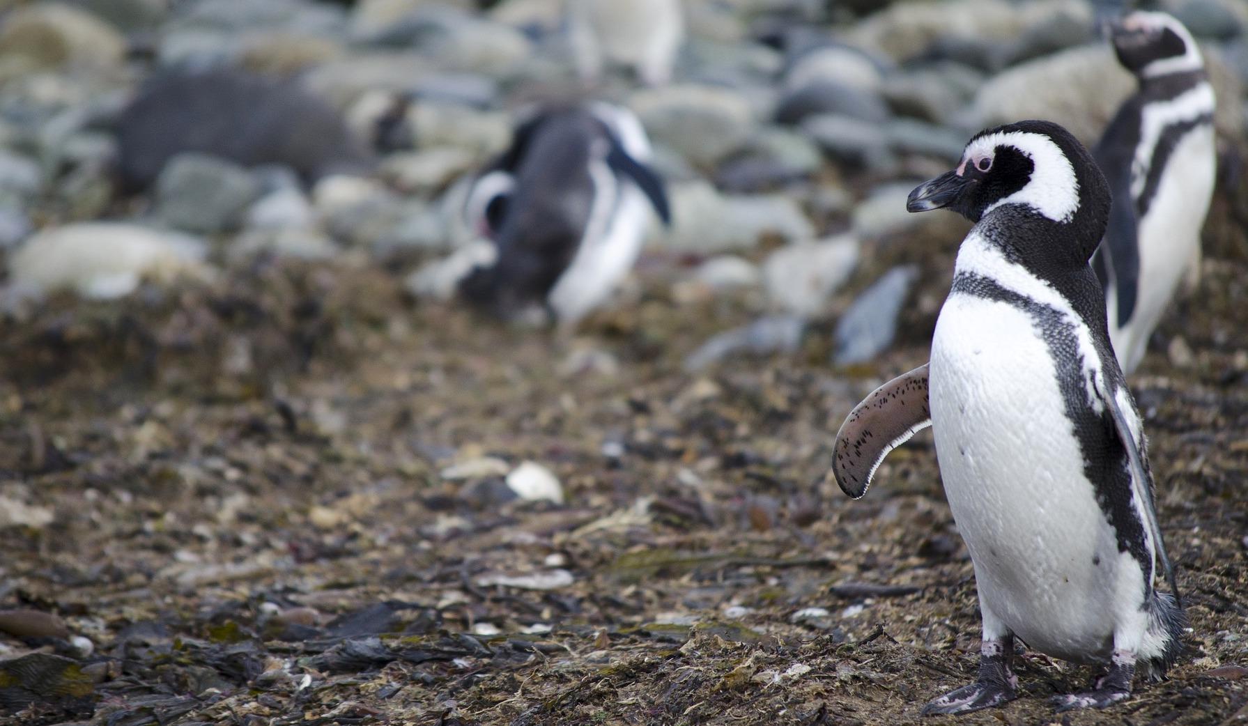 Penguins in Patagonia Argentina