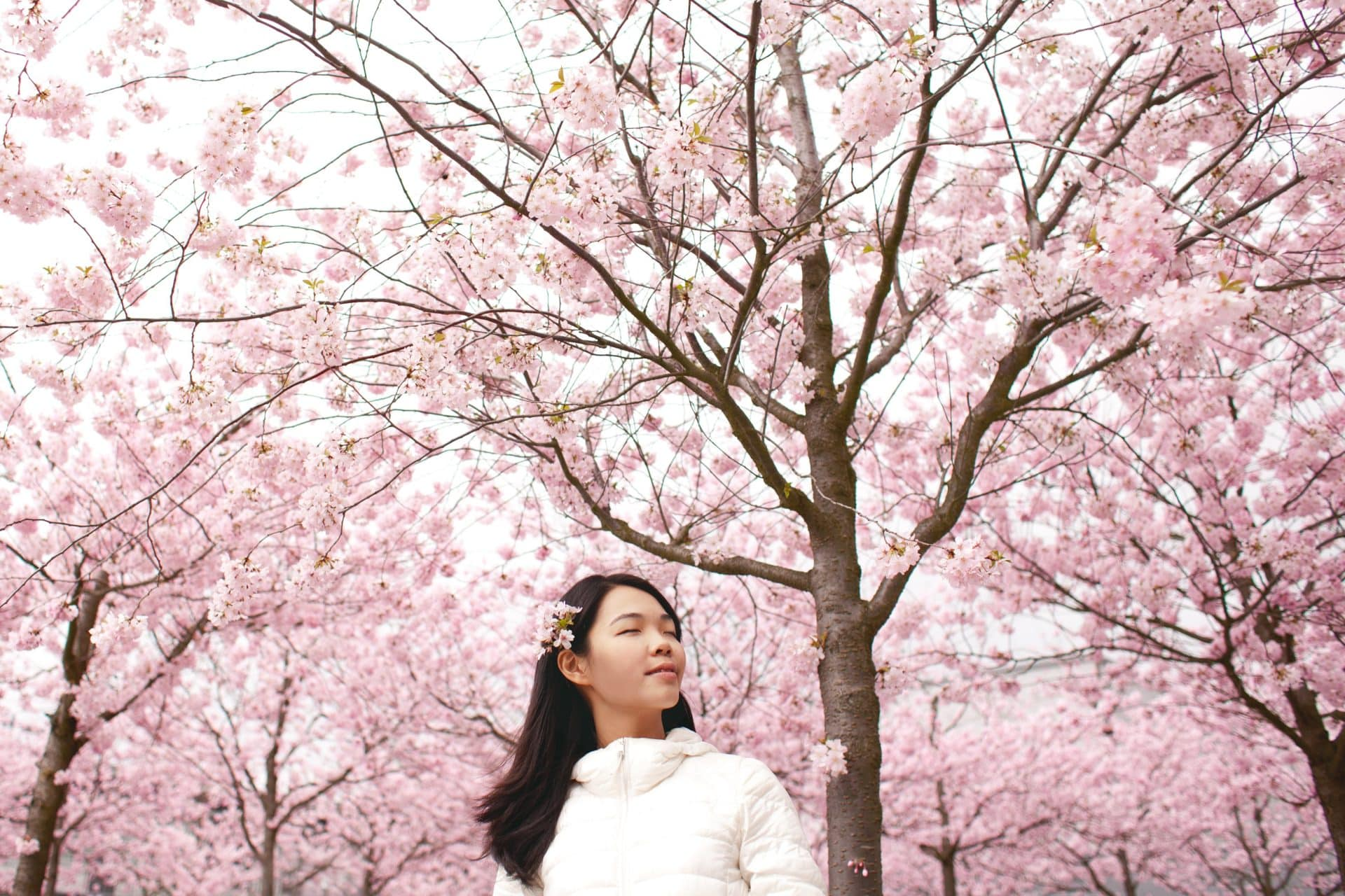 cherry blossoms in Japan 2020