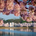 Cherry Blossom Festivals In The US