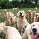golden retriever experience