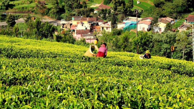 tea regions Asia