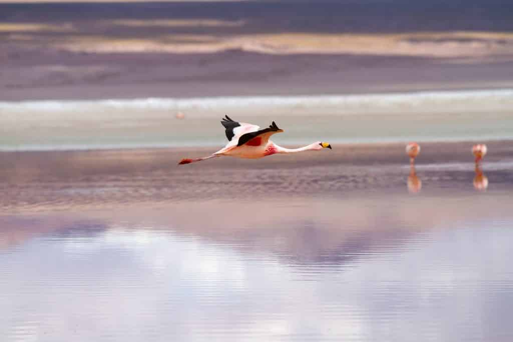 Interesting facts about Bolivia flamingos