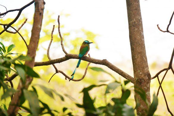 Torogoz bird