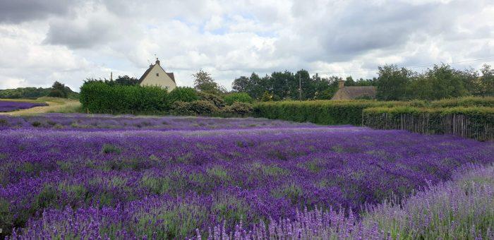 Cotswolds Famous For Lavender season