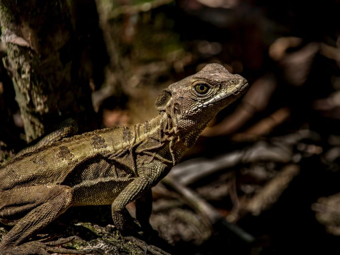 Interesting facts about Costa Rica Lizard