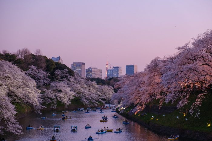 interesting facts about Japan Cherry Blossom